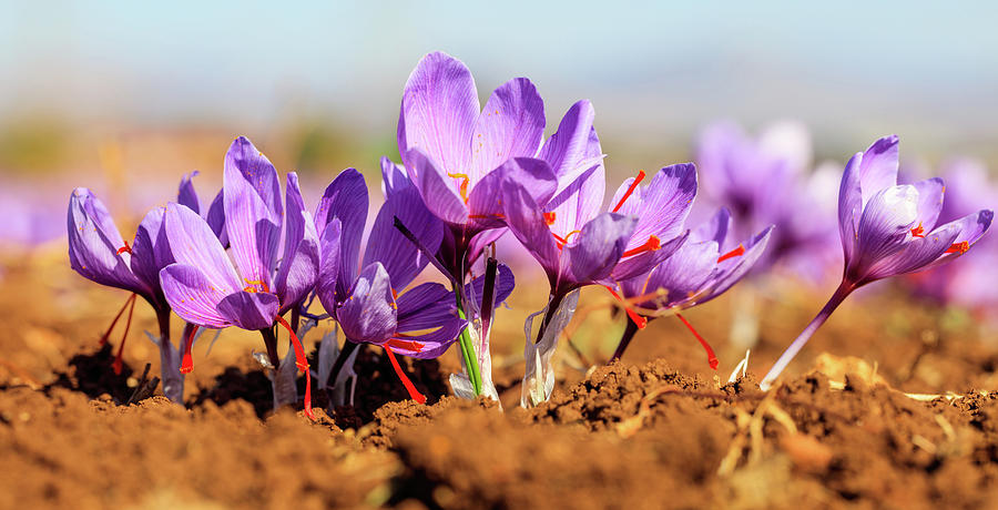 Close Up Of Saffron Flowers In A Field At Autumn Photograph By