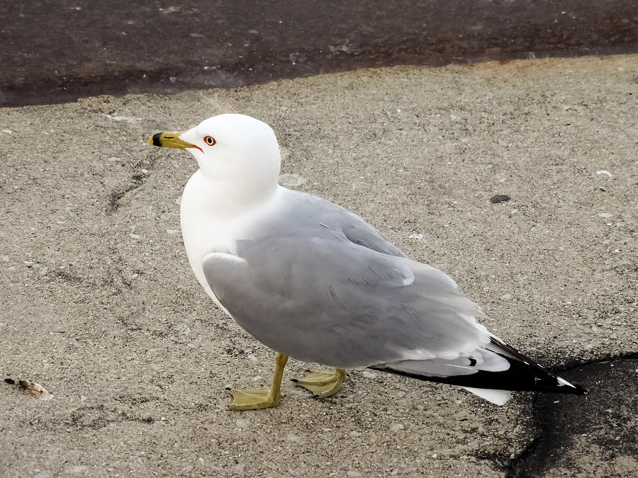 Seagull Photograph - Close-up Of Seagull by Cynthia Woods