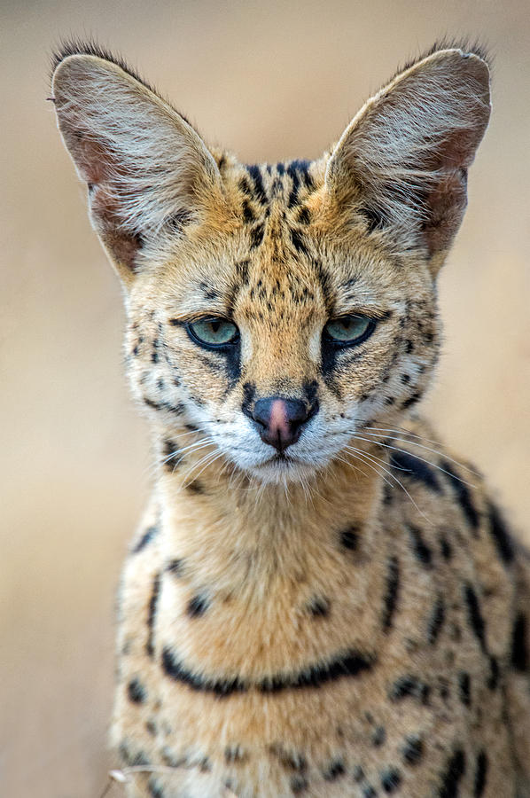 Color Image Photograph - Close-up Of Serval Leptailurus Serval by Panoramic Images