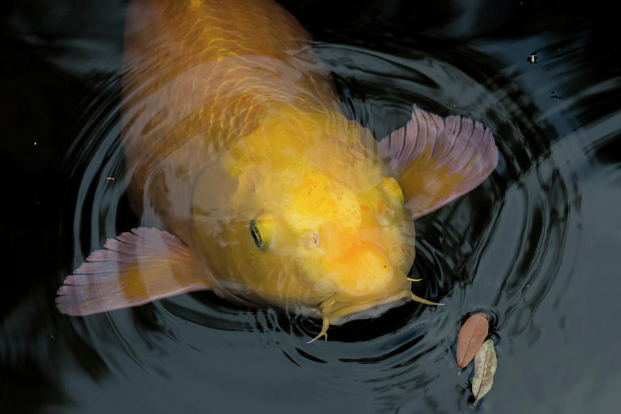 Close Up Of Single Large Yellow Koi Fish With Whiskers Photograph by ...