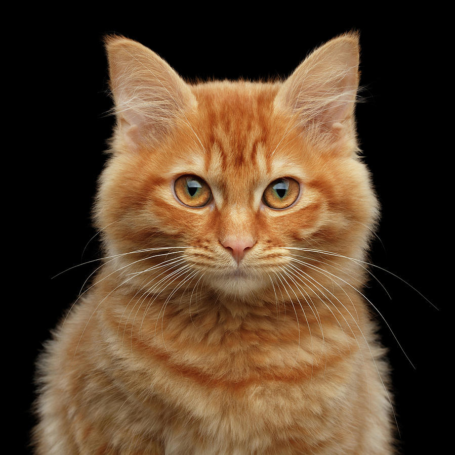 Close-up Photograph - Close-up Portrait of Ginger Kitty on Black by Sergey Taran