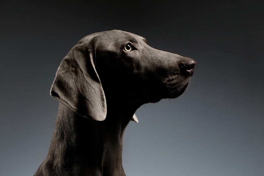 Dog Photograph - Close-up Portrait Weimaraner dog in Profile view on white gradient by Sergey Taran