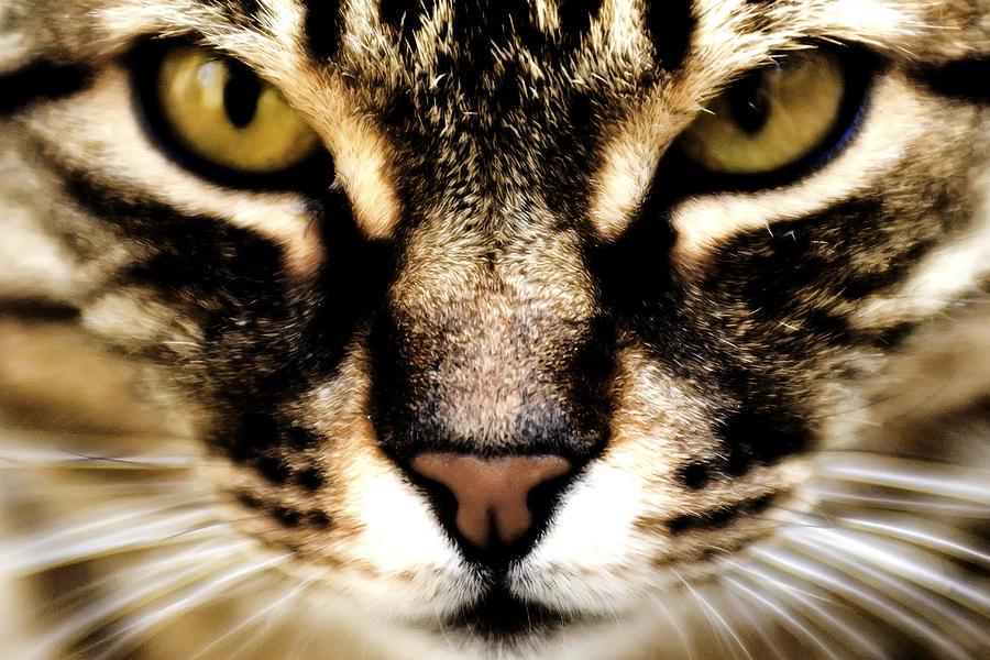Cat Photograph - Close Up Shot Of A Cat by Fabrizio Troiani