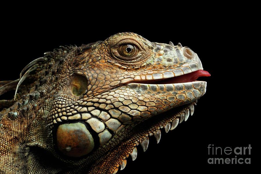 Iguana Photograph - Close-upGreen Iguana Isolated on Black Background by Sergey Taran