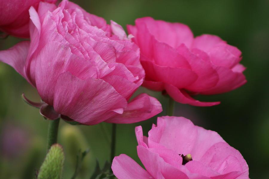 Pink Ranunculus Photograph - Closeup Deep Peony Pink Ranunculus by Colleen Cornelius