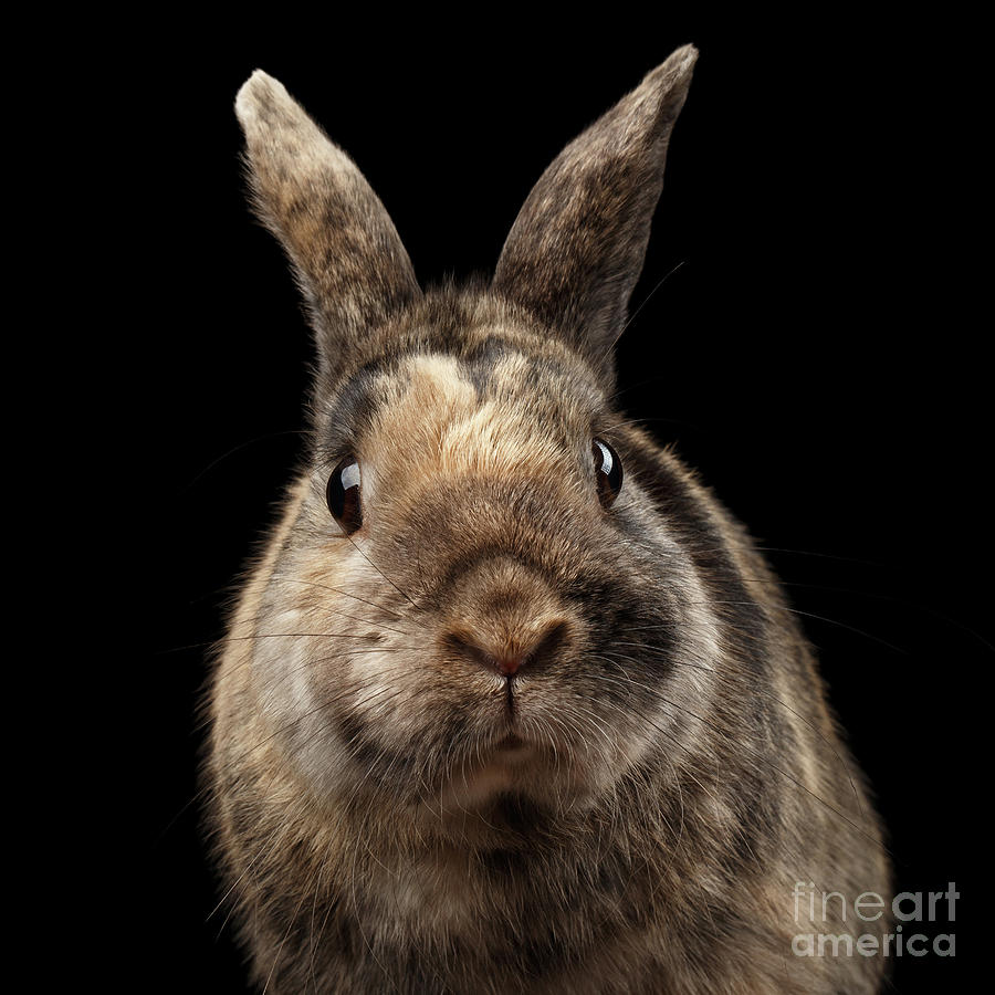 Rabbit Photograph - Closeup Funny Little rabbit, Brown Fur, isolated on Black Backgr by Sergey Taran