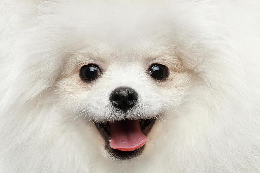 Closeup Photograph - Closeup Furry Happiness White Pomeranian Spitz Dog Curious Smiling by Sergey Taran