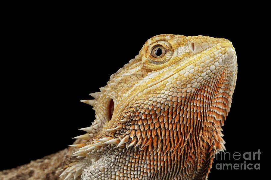 Lizard Photograph - Closeup head of Bearded Dragon Llizard, agama, Isolated Black Background by Sergey Taran