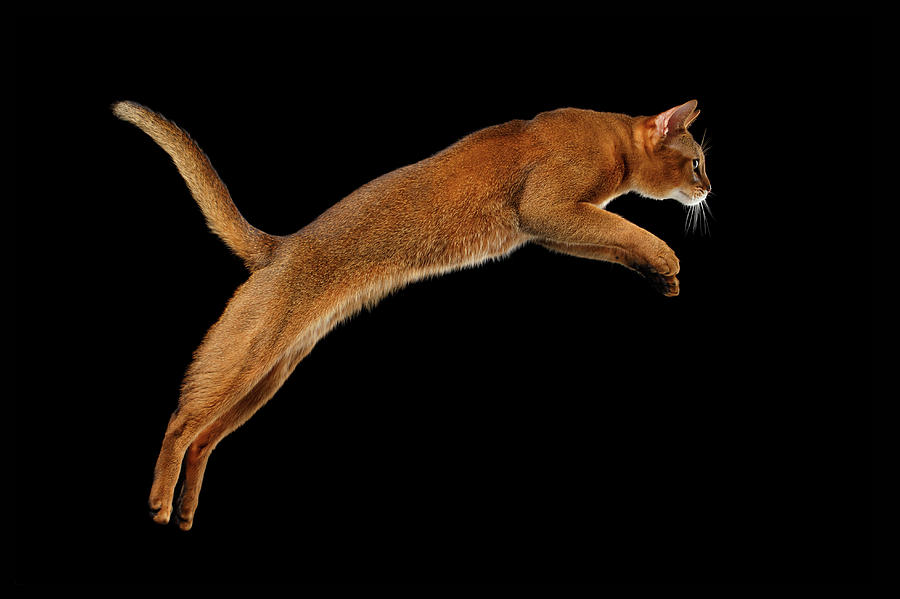 Abyssinian Photograph - Closeup Jumping Abyssinian cat Isolated on black background in Profile by Sergey Taran