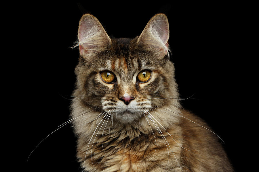 Cat Photograph - Closeup Maine Coon Cat Portrait Isolated on Black Background by Sergey Taran