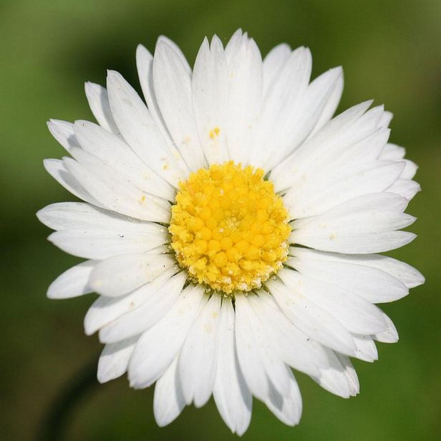 Common Daisy Photograph - Closeup Of A Beautiful Yellow And White Daisy Flower by Tracey Harrington-Simpson