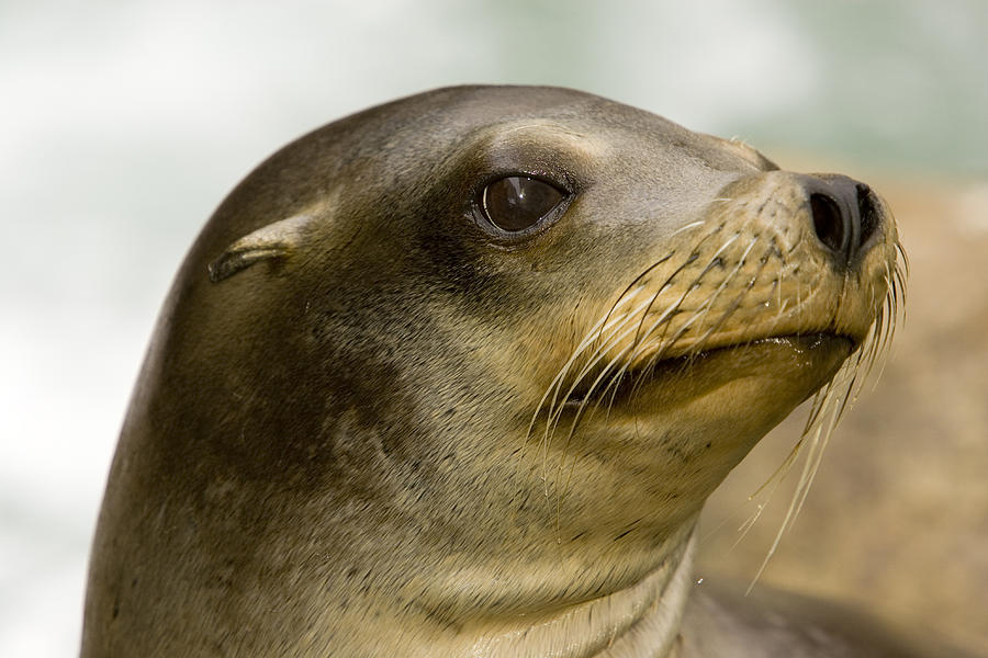 Closeups Photograph - Closeup Of A California Sea Lion by Tim Laman