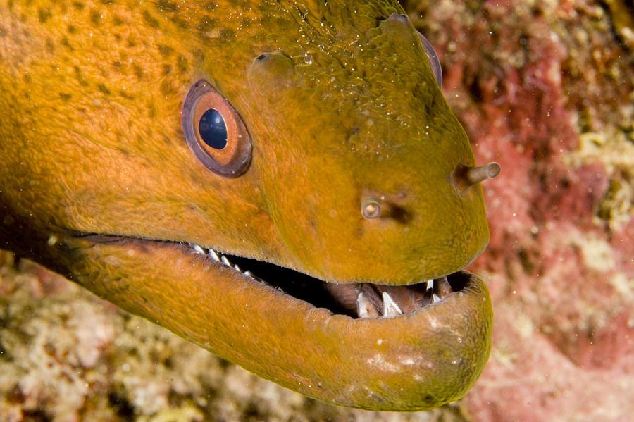 Closeups Photograph - Closeup Of A Giant Moray Eel by Tim Laman