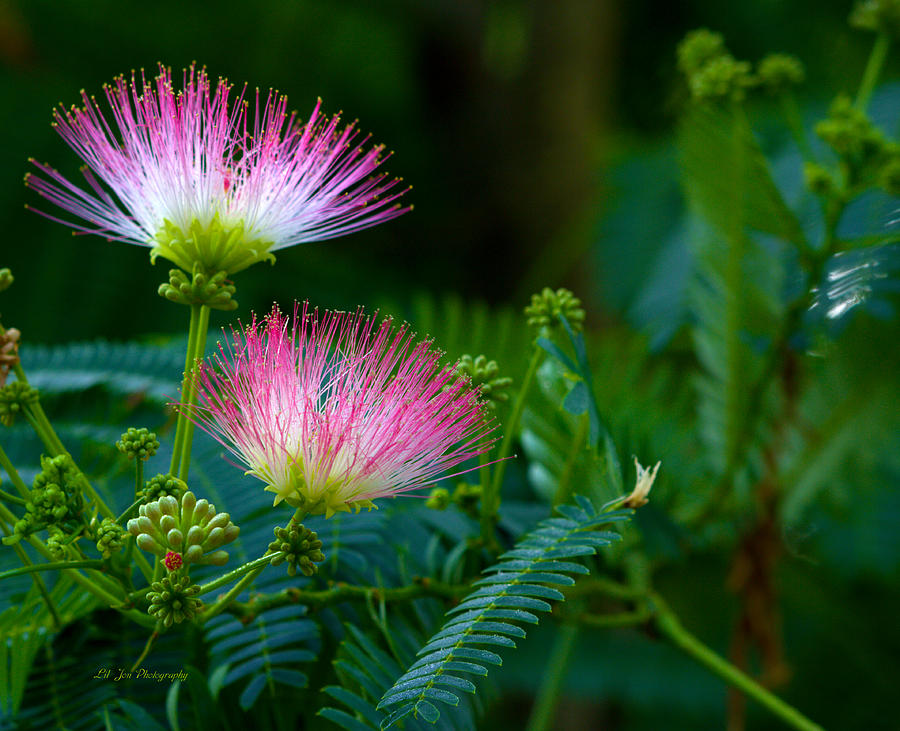 Tropical Photograph - Closeup Of A Mimosa Bloom by Jeanette C Landstrom