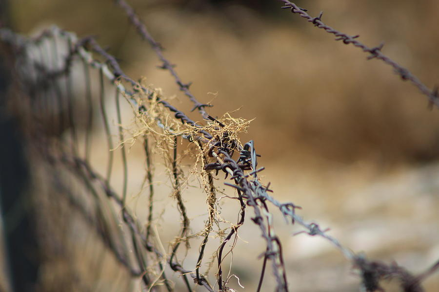 Golden Photograph - Closeup of Barbed Wire and Dried Vines in Tawny by Colleen Cornelius