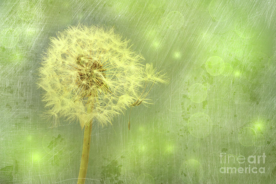 Background Photograph - Closeup Of Dandelion With Seeds by Sandra Cunningham