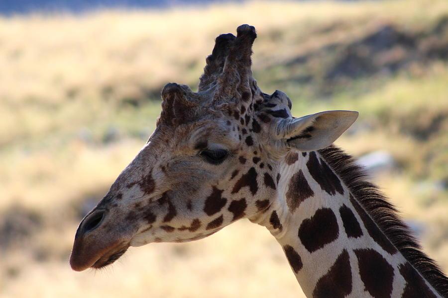 Giraffe Photograph - Closeup Of Giraffe by Colleen Cornelius