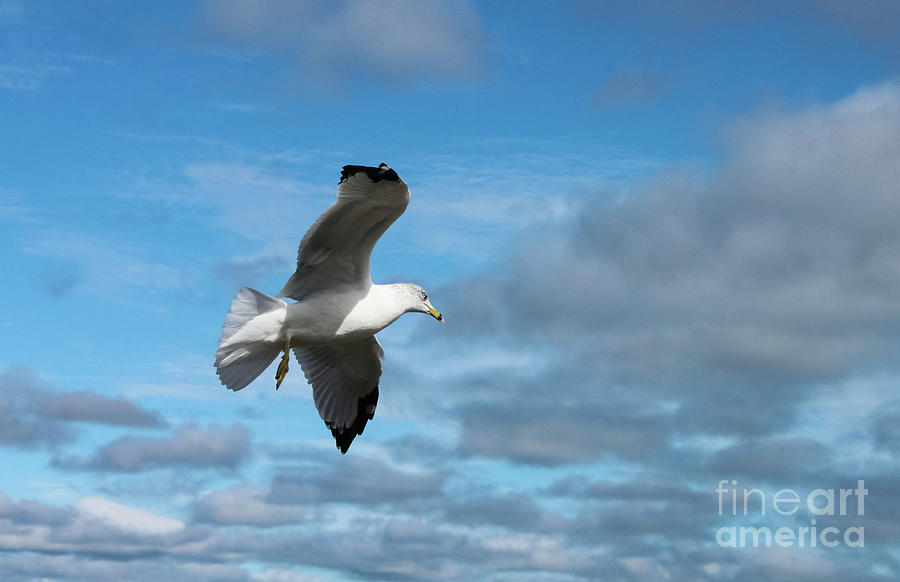 Closeup of seagull in flight against stormy cloudy sky by Susan Vineyard