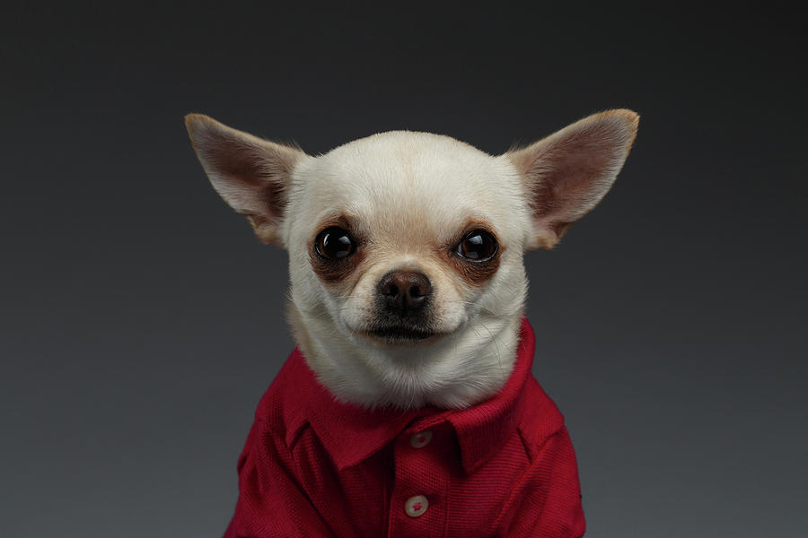 Pet Photograph - Closeup Portrait Chihuahua dog in stylish clothes. Gray background by Sergey Taran