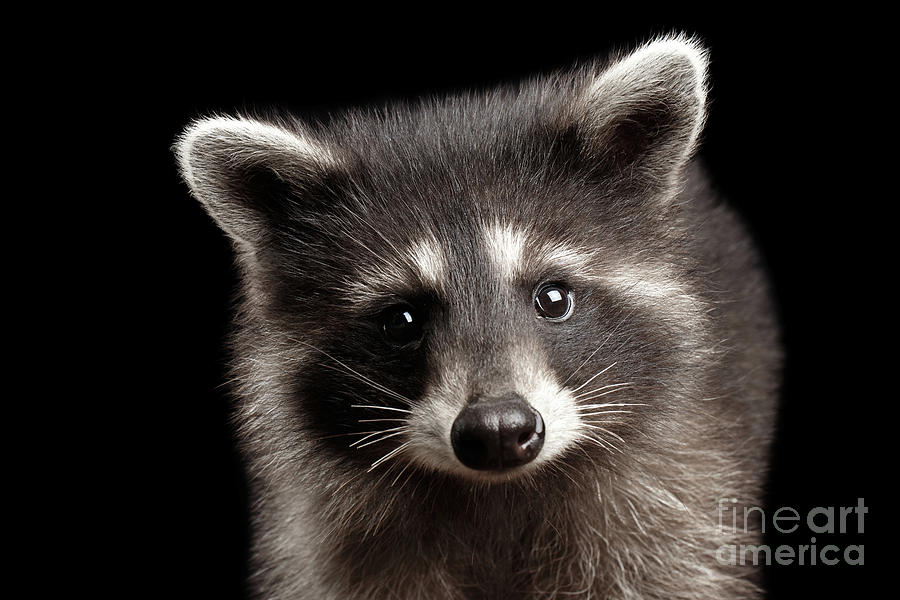 Raccoon Photograph - Portrait Cute Baby Raccoon by Sergey Taran