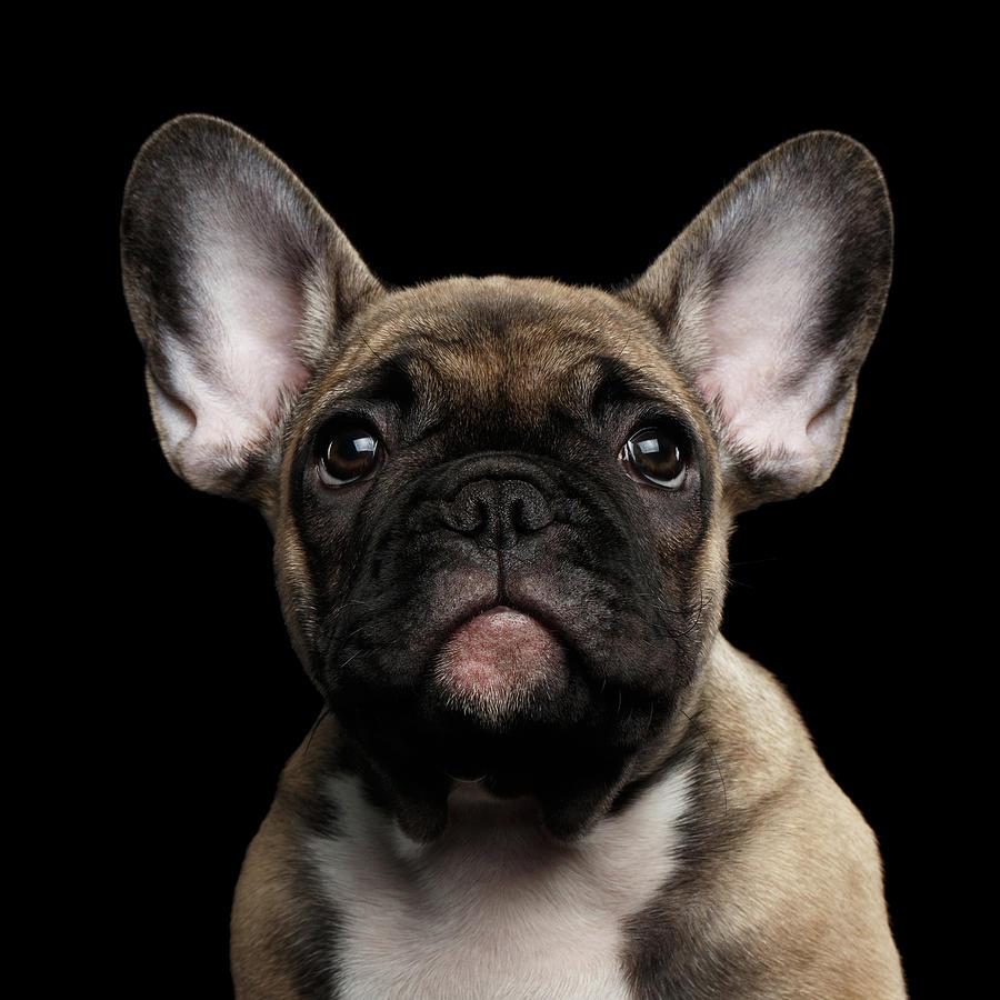 Dog Photograph - Closeup Portrait French Bulldog Puppy, Cute Looking in Camera by Sergey Taran