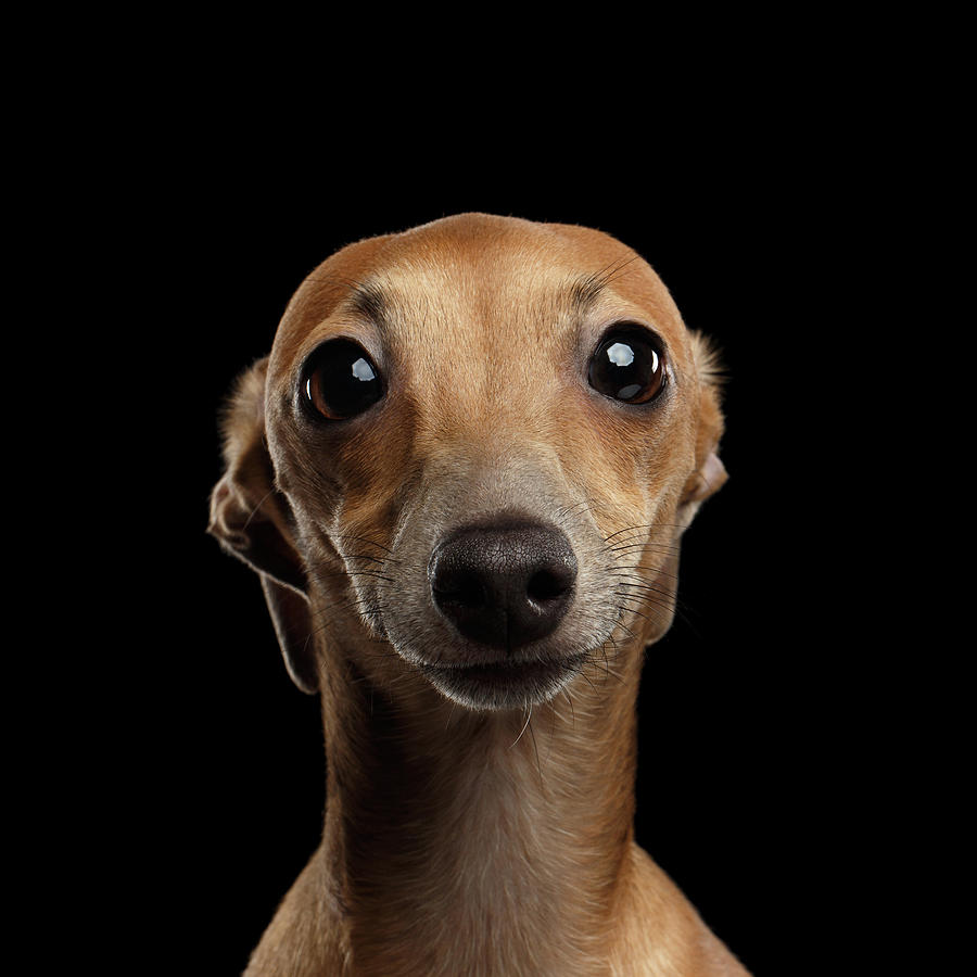 Greyhound Photograph - Closeup Portrait Italian Greyhound Dog Looking in Camera isolated Black by Sergey Taran