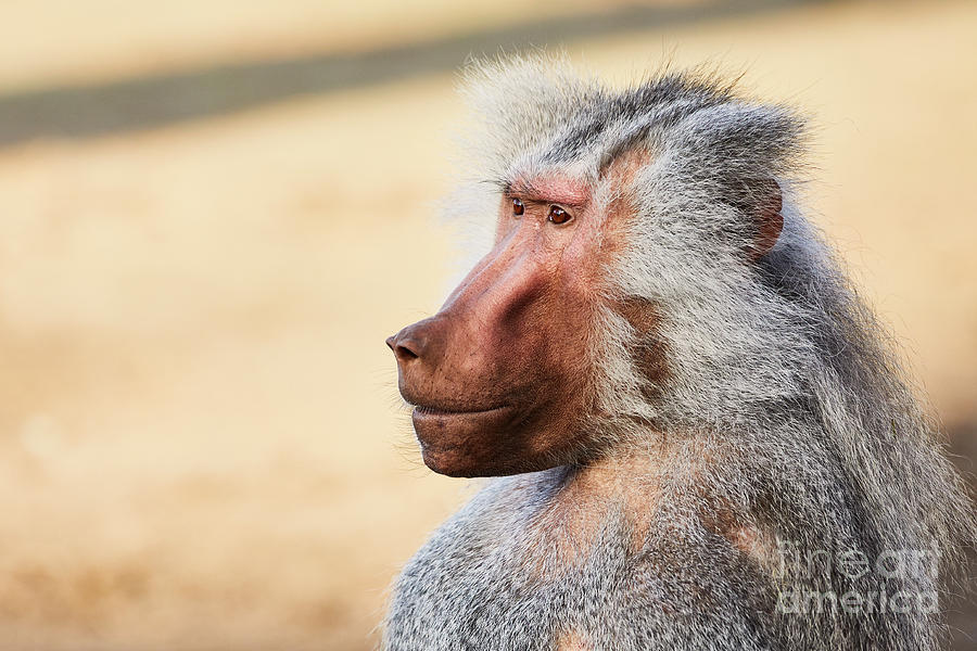 Closeup portrait of a male Baboon by Nick Biemans