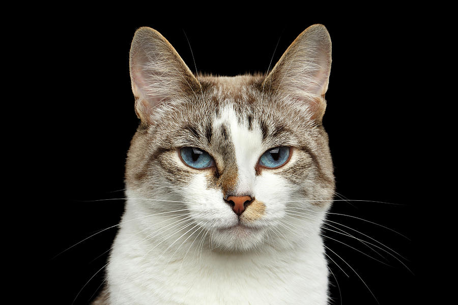 Cat Photograph - Closeup Portrait of face White Cat, Blue Eyes Isolated Black Background by Sergey Taran