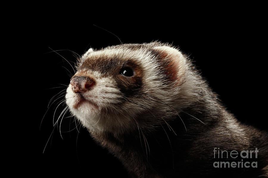 Ferret Photograph - Ferret by Sergey Taran