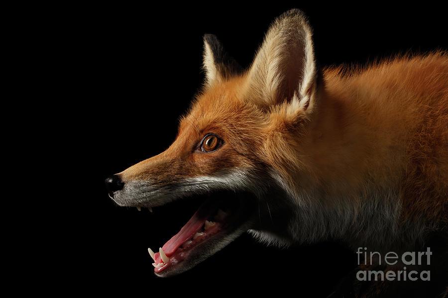 Fox Photograph - Red Fox in Profile by Sergey Taran
