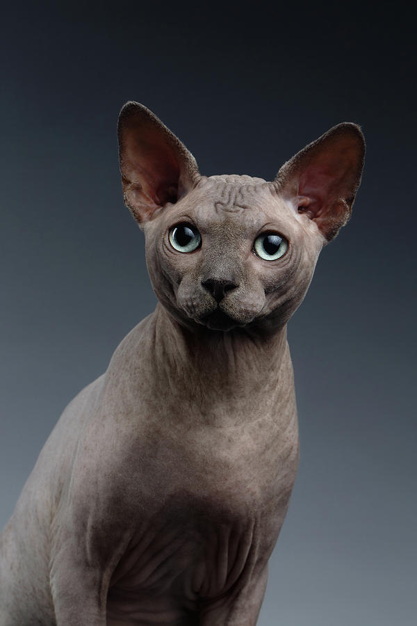 Portrait Photograph - Closeup Portrait of Sphynx Cat Looking in camera on Dark  by Sergey Taran