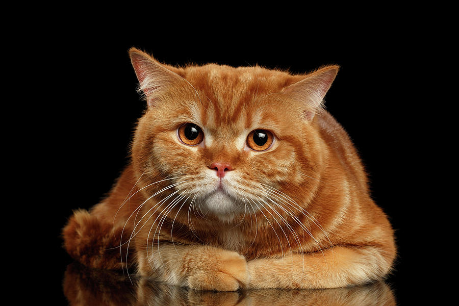 Closeup Photograph - Closeup Red British cat Lying with cute paws isolated on Black Background  by Sergey Taran
