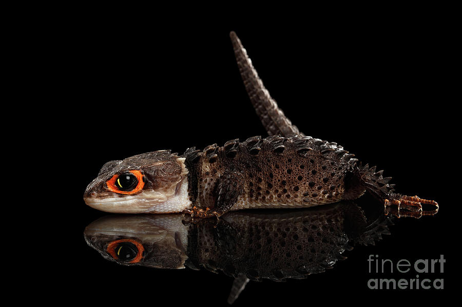 Crocodile Photograph - Closeup Red-eyed crocodile skink, tribolonotus gracilis, isolated on Black background by Sergey Taran
