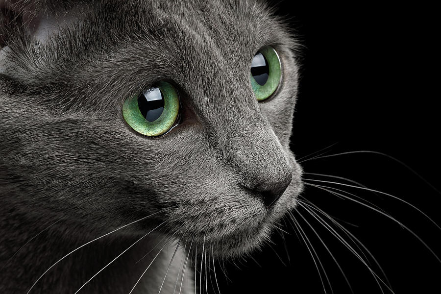 Closeup Russian Blue by Sergey Taran