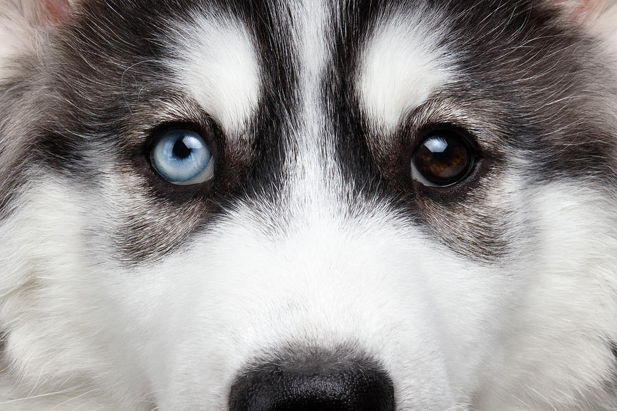 Dog Photograph - Closeup Siberian Husky Puppy Different Eyes by Sergey Taran