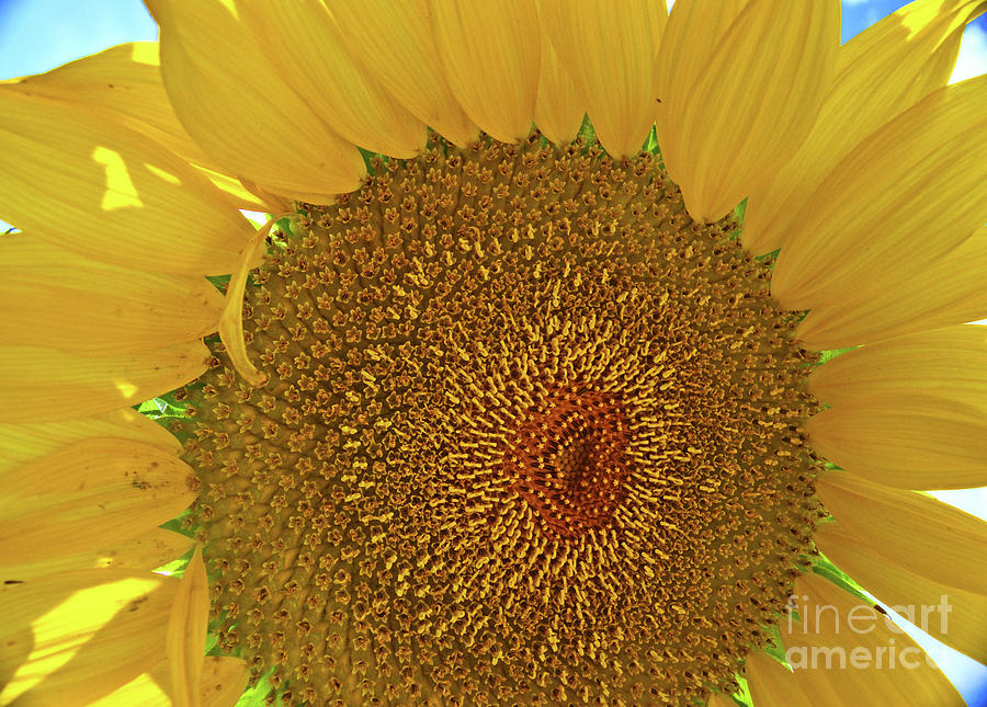 Closeup Sunflower by George D Gordon III