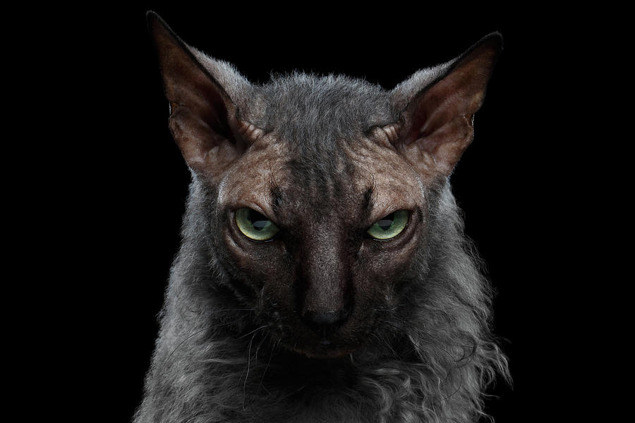 Werewolf Photograph - Closeup Werewolf Sphynx Cat Angry Looking in Camera Isolated Black by Sergey Taran