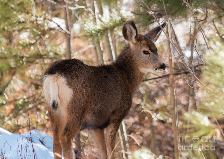 Closeup Winter Deer Photograph