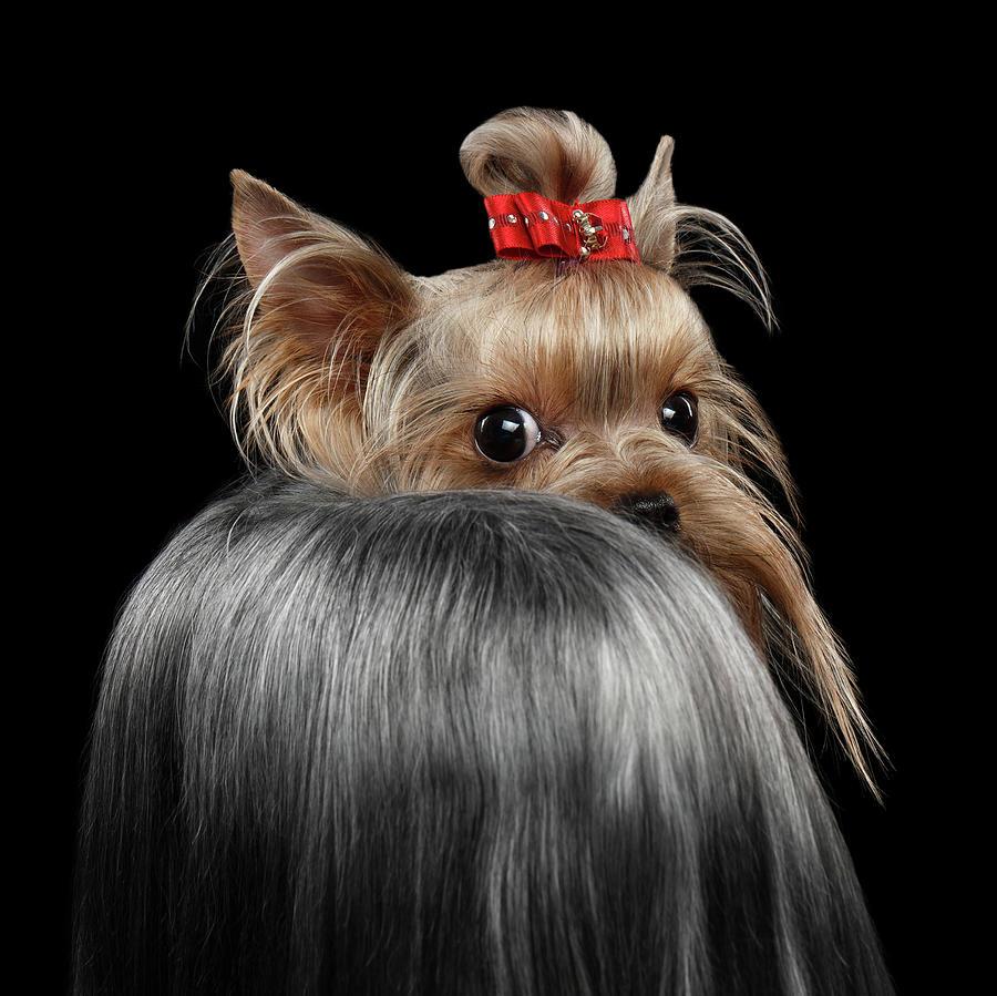 Closeup Photograph -  Closeup Yorkshire Terrier Dog, long groomed Hair Pity Looking back by Sergey Taran