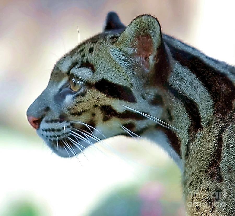 Leopard Photograph - Clouded Leopard by Randy Matthews