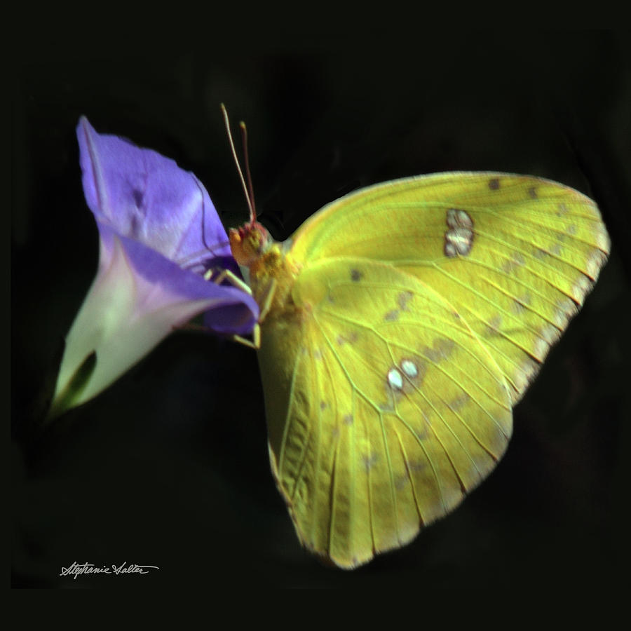 Clouded Sulfur Butterfly by Stephanie Salter