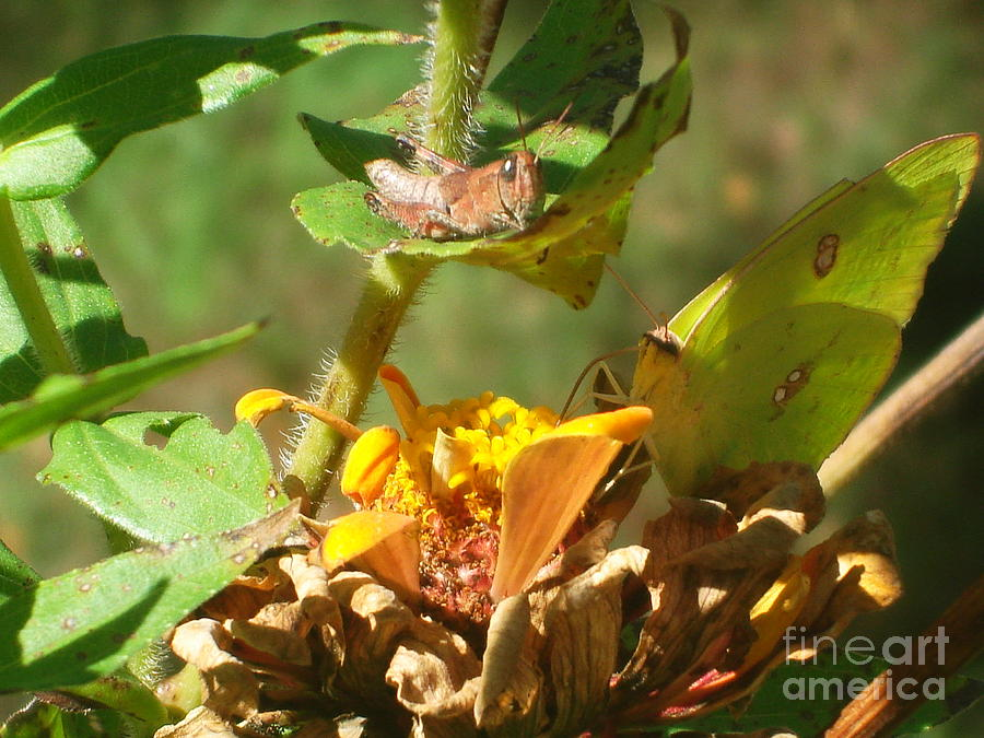 Yellow Photograph - Cloudless Sulfur Butterfly by Anthony Allen