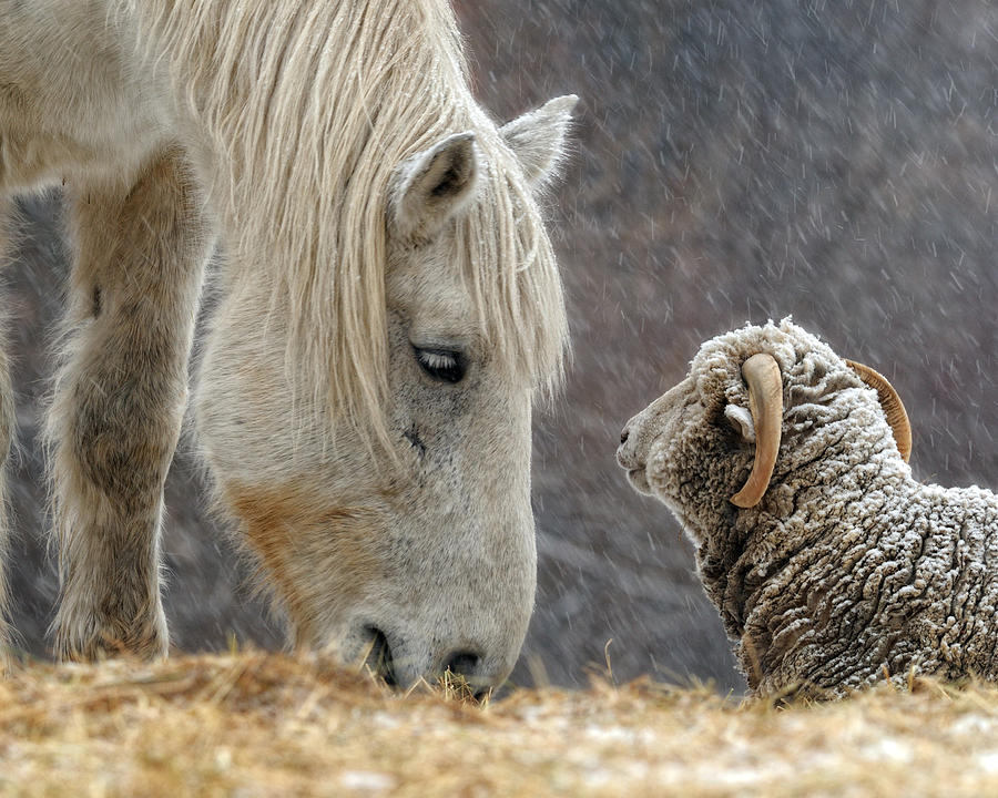 Horse Photograph - Clouseau And Friend by Don Schroder