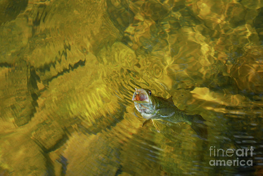 Fishing Photograph - Clouser Smallmouth by Randy Bodkins