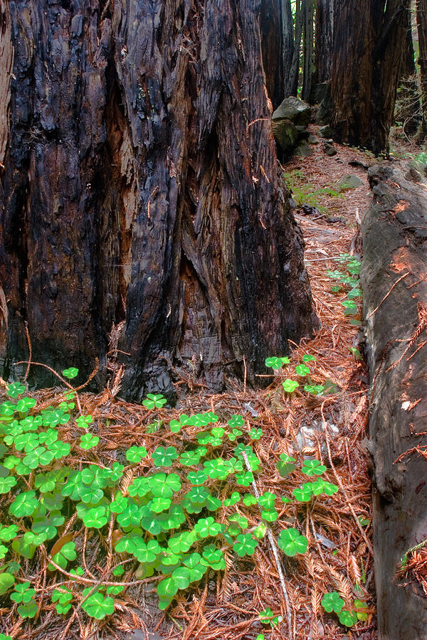 Clover Photograph - Clover And Redwood by Charlie Hunt