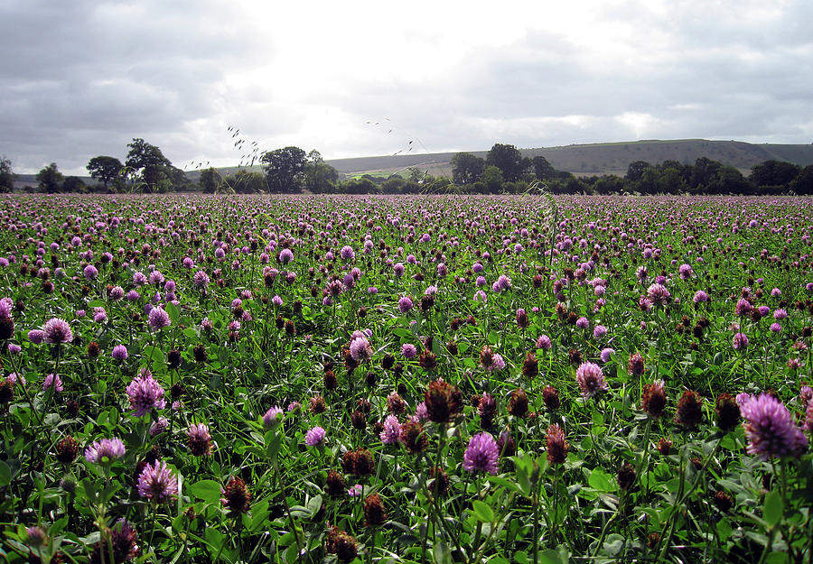 Flowers Photograph - Clover Field Wiltshire England by Kurt Van Wagner