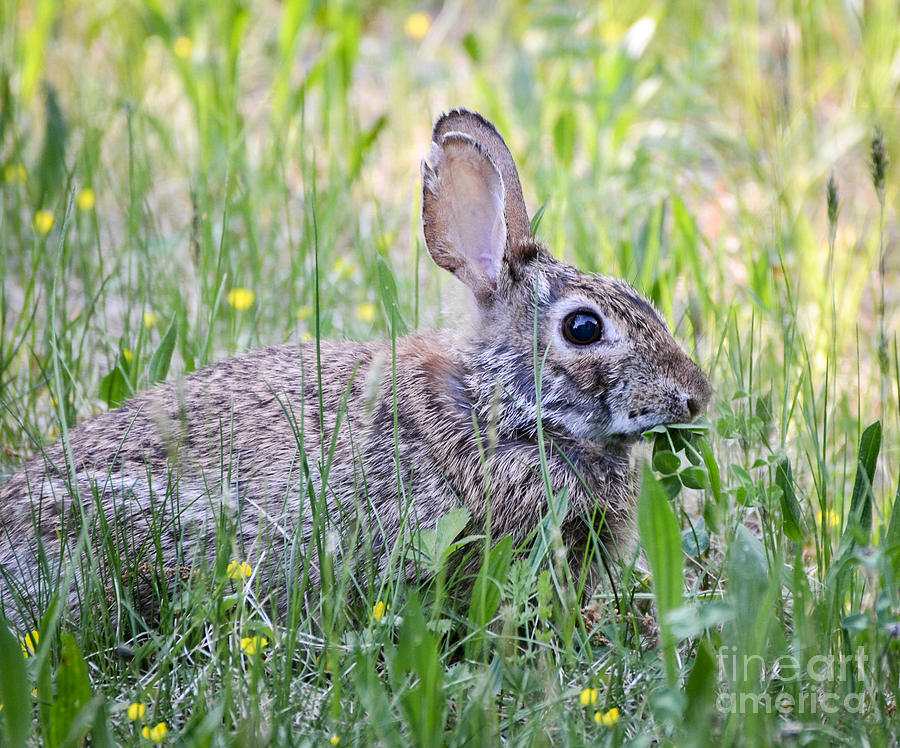 Rabbit Photograph - Clover Is My Favorite by Amy Porter
