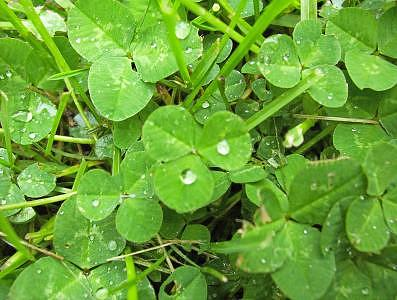 Clovers Photograph by Shawna G