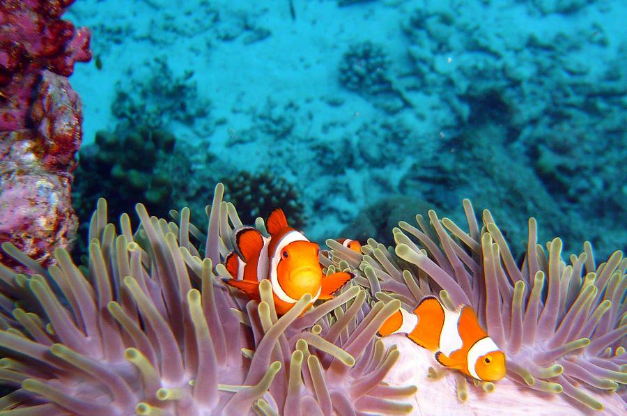 Horizontal Photograph - Clown Fishes by Takau99
