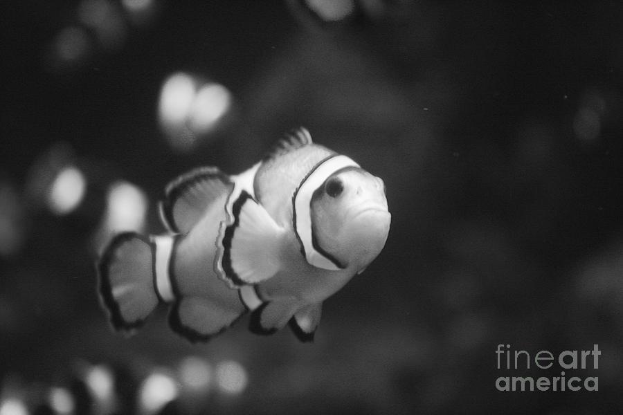 Clownfish Photograph - Clownfish by Brenton Woodruff